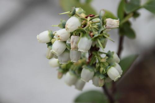 ブルーベリー花.JPG