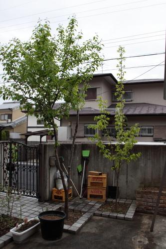 渋柿西条.JPG